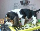 宠物狗纯种巴吉度疫苗驱虫已做齐全包健康签协议