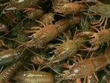 三台县种虾养殖基地 提供成虾销售渠道