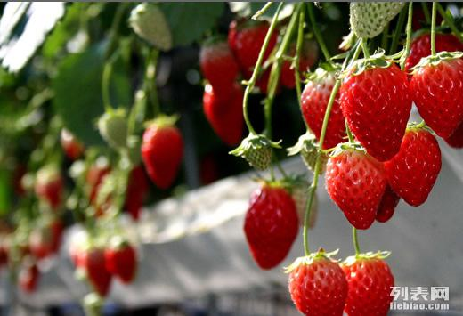 北京较近较好吃口碑第一的草莓采摘园首开园 火爆采摘中