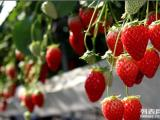 北京較近較好吃口碑第一的草莓采摘園首開園 火爆采摘中