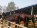 低价出售一批肉牛犊全国包运输