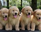 郑州最大狗场 特价直销世界名犬 金毛犬等品种三百起