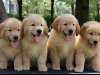 武汉官方认证宠物领养中心 现狗狗赠送中