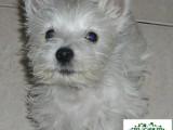 西高地幼犬,西高地多少钱一只
