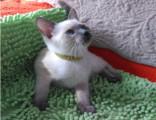 较大CFA认证猫舍自家繁殖纯种暹罗猫 可上门 看父母
