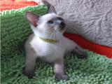 自家纯种暹罗小猫 价格面议 托勿扰