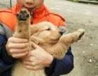 宠物犬业联盟担保犬舍售金毛犬 纯种健康 可办血统证