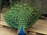 黄石出售饲养孔雀苗 观赏蓝孔雀苗