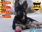 斗牛犬 英斗法斗英牛法牛幼犬 高品质赛级宠物狗