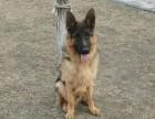 纯种德国牧羊犬配种,经过国际认证,品种可靠