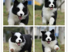 出售纯血统高品质的边牧犬 聪明第一边牧幼犬