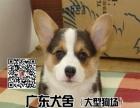 柯基犬——纯种柯基犬——健康柯基犬出售——广东犬舍大型狗场