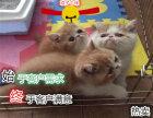 猫舍出售纯血统加菲猫 无病无癣家庭式繁育可上门挑选