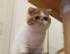 加菲猫活体 纯种 异国 短毛猫活体幼猫宠物猫