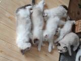 纯种布偶猫幼活体宠物小猫咪海豹双色蓝山双手套色重点