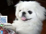 家养纯种京巴犬活泼可爱疫苗驱虫做好包健康