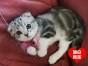 超萌纯种美短-自家的加白立耳及折耳虎斑猫宝宝找新家!