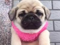 成都出售纯种巴哥犬 自家养殖的 当面测试交易 同城免费送狗