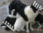 家养纯种苏格兰牧羊犬便宜出售了 喜欢的可以加我详聊