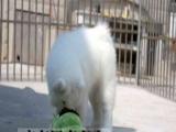 出售赛级澳版纯种萨摩耶幼犬雪橇犬 白色微笑天使中型犬宠物