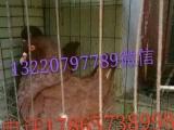 马甲鸽凤尾鸽芙蓉鸽出售