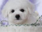 买纯种法系雪白卷毛比熊狗狗 双赛级血统 健康质保