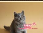 超俊的纯血英短猫蓝猫小妹妹2号--《思晴名猫坊》