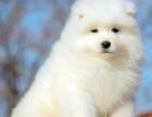 出售可爱萌犬萨摩耶出售 正规犬舍繁殖纯种