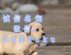 神犬小七同款拉布拉多签售犬协议-保健康-保纯种