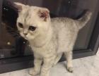 出售银渐层英短折耳幼猫