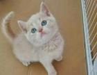 宠物店出售蓝猫蓝白金吉拉嘉菲猫银渐层布偶