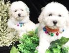 出售3个月的比熊犬(公母均有)包犬瘟细小-签协议