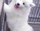 纯种银狐犬幼犬活体纯种日本白色小型犬幼犬家养狐