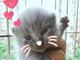 英国短毛猫小蓝猫