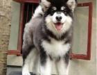纯种健康阿拉斯加犬出售签协议出售终生有保障售后完善