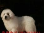 大白熊犬非常善良 有自信 温和 沉着 喜欢的进来