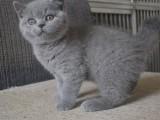 深圳哪里有卖宠物猫 深圳哪里有卖蓝猫 蓝猫多少钱一只