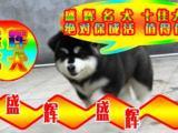 阿拉斯加 专业品质 梨园盛辉名犬 保健康 带血统证