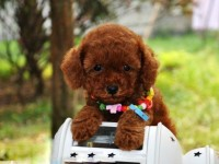 南京上门低价出售德牧犬松狮 哈士奇 金毛 柯基 边牧 多品种