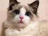 山东临沂纯种布偶幼猫怎么卖