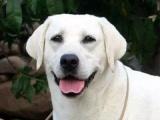 出售纯种拉布拉多幼犬 大骨量大头版保健康疫苗齐全