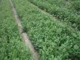 花椒苗基地 农户自产自销大红袍花椒苗 量大从优