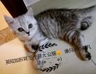 英短+折耳配种短毛猫600元