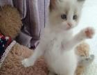 自家繁育纯种布偶猫
