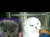 扬州本地繁殖批发蓝猫虎班渐层加菲各种名猫配种