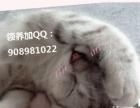 3个半月大的折耳猫找新家--想找个有爱心的人领养