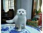 正八字 蓝猫 蓝白 梵文 小公 未来种公