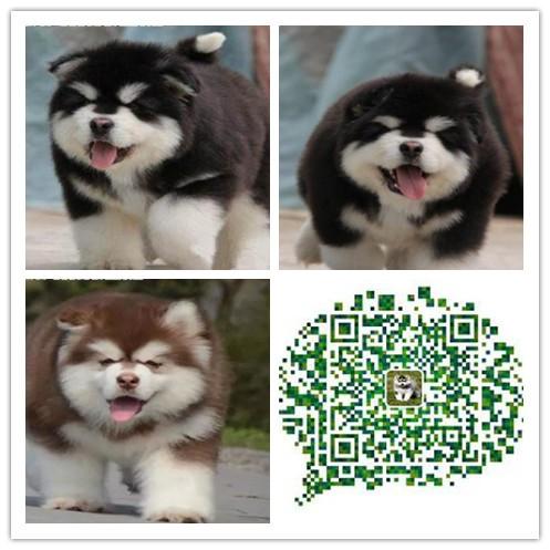 重庆出售纯种巨型熊版阿拉斯加幼犬 血统纯正质量质保 全国发货