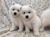 东莞 本地出售萨摩耶幼犬狗狗包健康纯种售后无忧