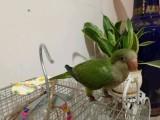 出售人工繁殖手养绿和尚鹦鹉 亲人可爱活泼